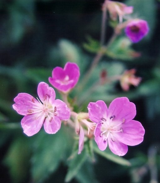 Wild Pink flowers (cropped)